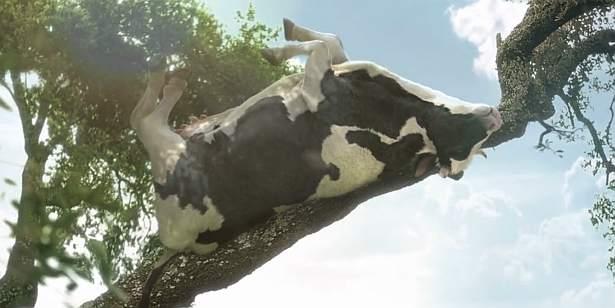 Łaciate odloty. Krowy ćwiczą jogę