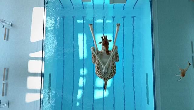 Żyrafy na basenie!